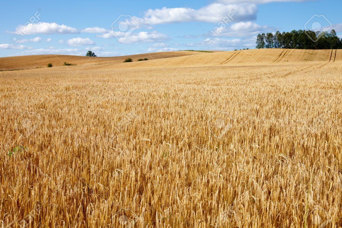 15704994-ripe-golden-barley-field-in-scotland.jpg
