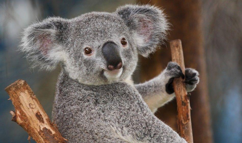 5529-koala-bear.jpg