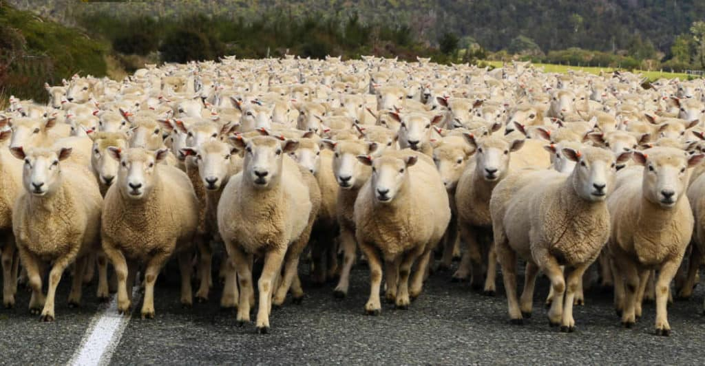 Canva-Sheep-1024x532.jpg