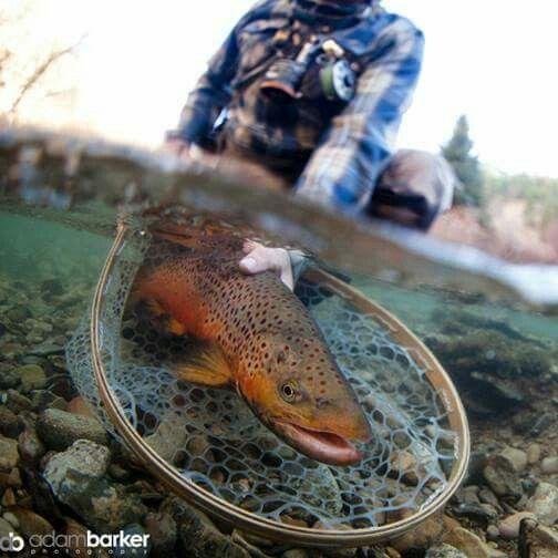 CnR_big-brown-trout_Net.jpg