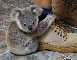 koala-for-sale (1).jpg