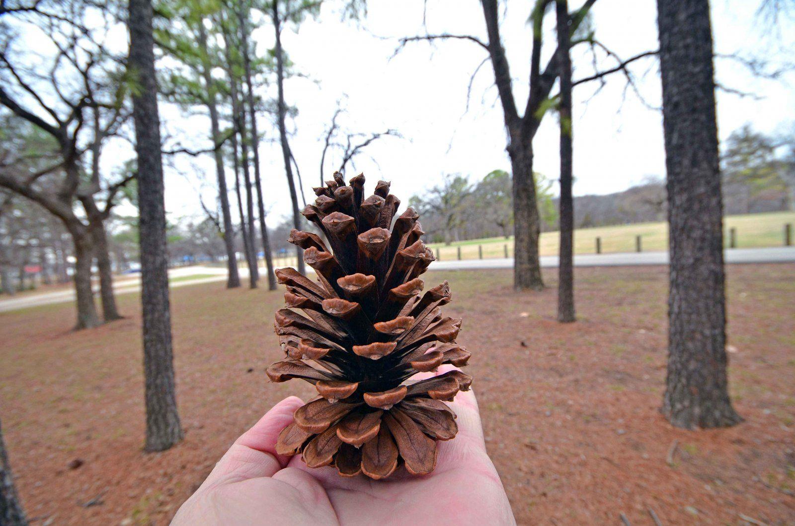 pine cone web.jpg