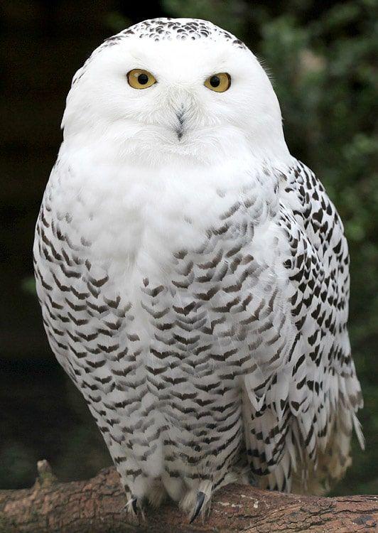 Snowy_Owl.jpg