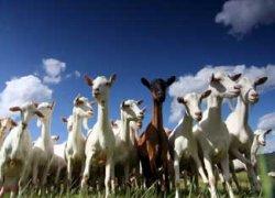$Goat herder legislation.jpg